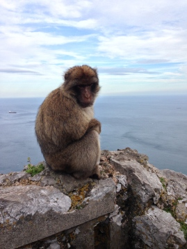 A huge barbary macaque hanging out just feet away