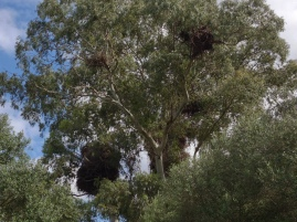 This tree had at least ten nests in it with birds constantly arriving or departing from it